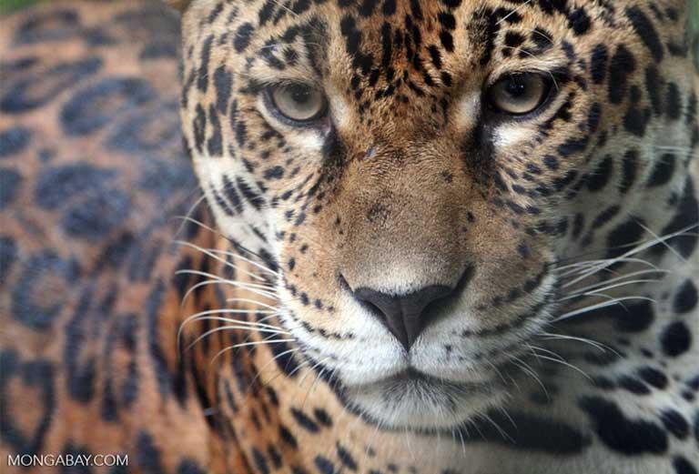 Estudos científicos recentes mostram que o futuro da Floresta Amazônica agora depende desse equilíbrio. Os pesquisadores dizem que o desmatamento está apenas a alguns pontos percentuais de um nível crítico, acima do qual o clima da Amazônia poderia ser alterado, com a quantidade de chuvas diminuindo muito e vastas extensões de floresta sendo convertidas a savana. Passar desse nível crítico seria um desastre para a biodiversidade, mas também uma catástrofe para a humanidade à medida que a Amazônia muda de sumidouro para fonte de carbono, agravando o aquecimento global. Minimizar o desmatamento é crucial para prevenir esse cenário. Imagem de Rhett A. Butler/Mongabay