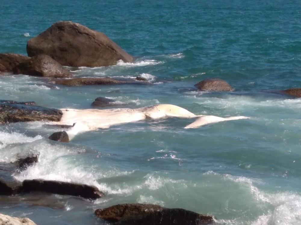 Baleia Jubarte é encontrada morta em Ilhabela (Foto: Divulgação/Prefeitura de Ilhabela )