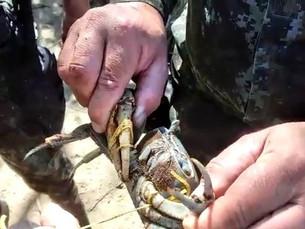 Dupla é multada em R$ 2,8 mil por capturar 100 caranguejos em mangue em Ubatuba