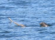 Espécie de golfinhos ameaçada de extinção é flagrada pelo Maqua na Baía da Ilha Grande, em Paraty