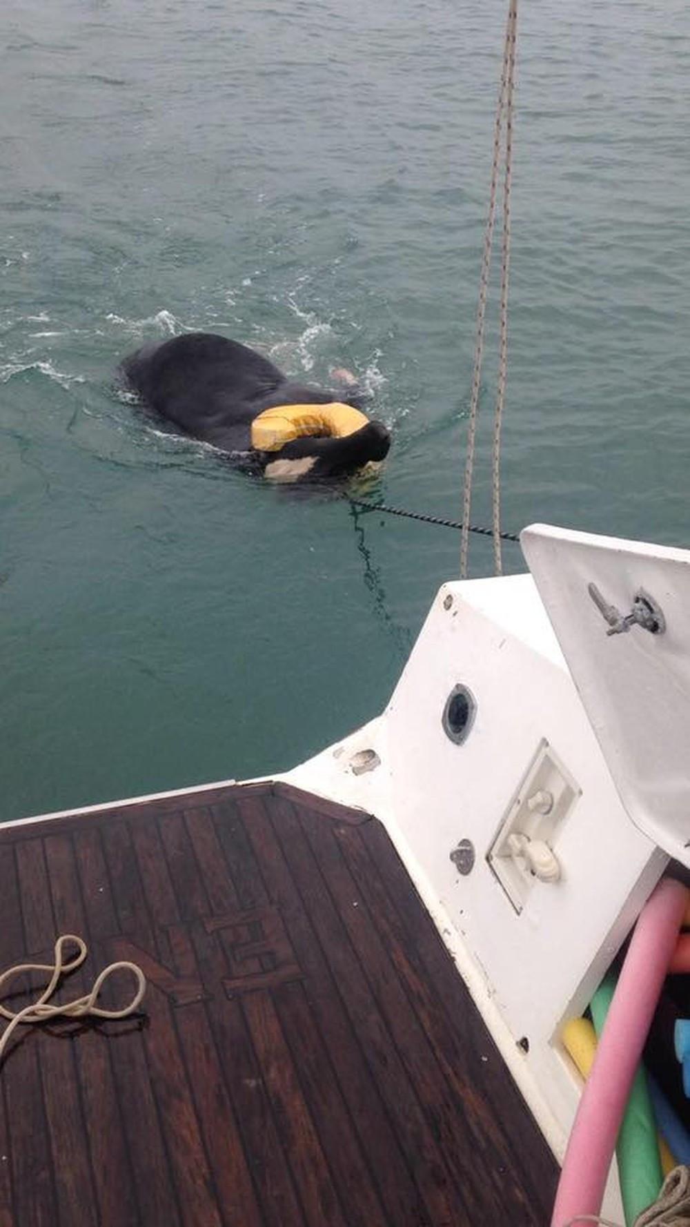 Boi à deriva no mar é resgatado em São Sebastião (Foto: Tribuna do Povo/arquivo)