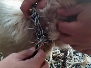 Cachorro vítima de maus-tratos é resgatado pela Polícia Civil de Paraty