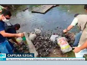 Quatro mil caranguejos são devolvidos ao mangue em Paraty