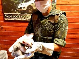 Filhote de Tamanduá-Mirim é salvo e entregue à Polícia Ambiental em Caraguatatuba