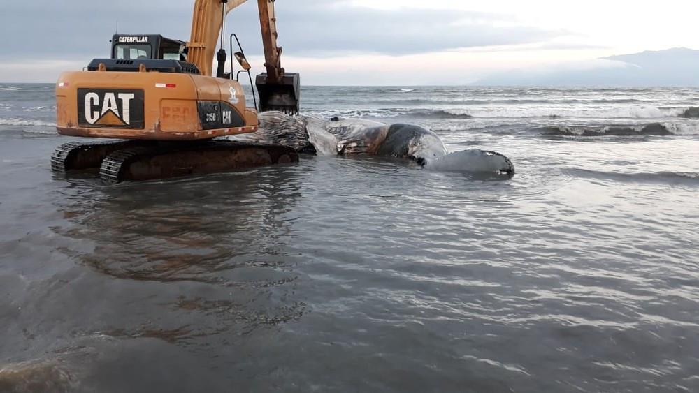 Baleia foi removida e enterrada na praia (Foto: Instituto Argonauta)