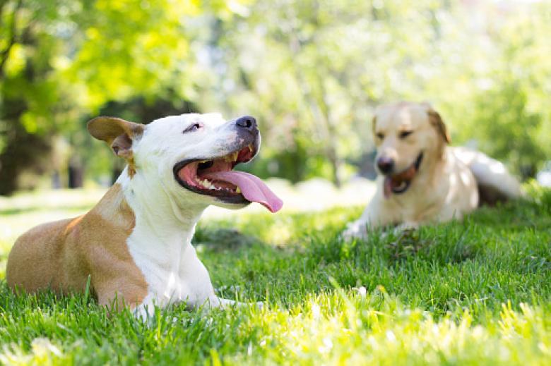 A leishmaniose canina tem tratamento
