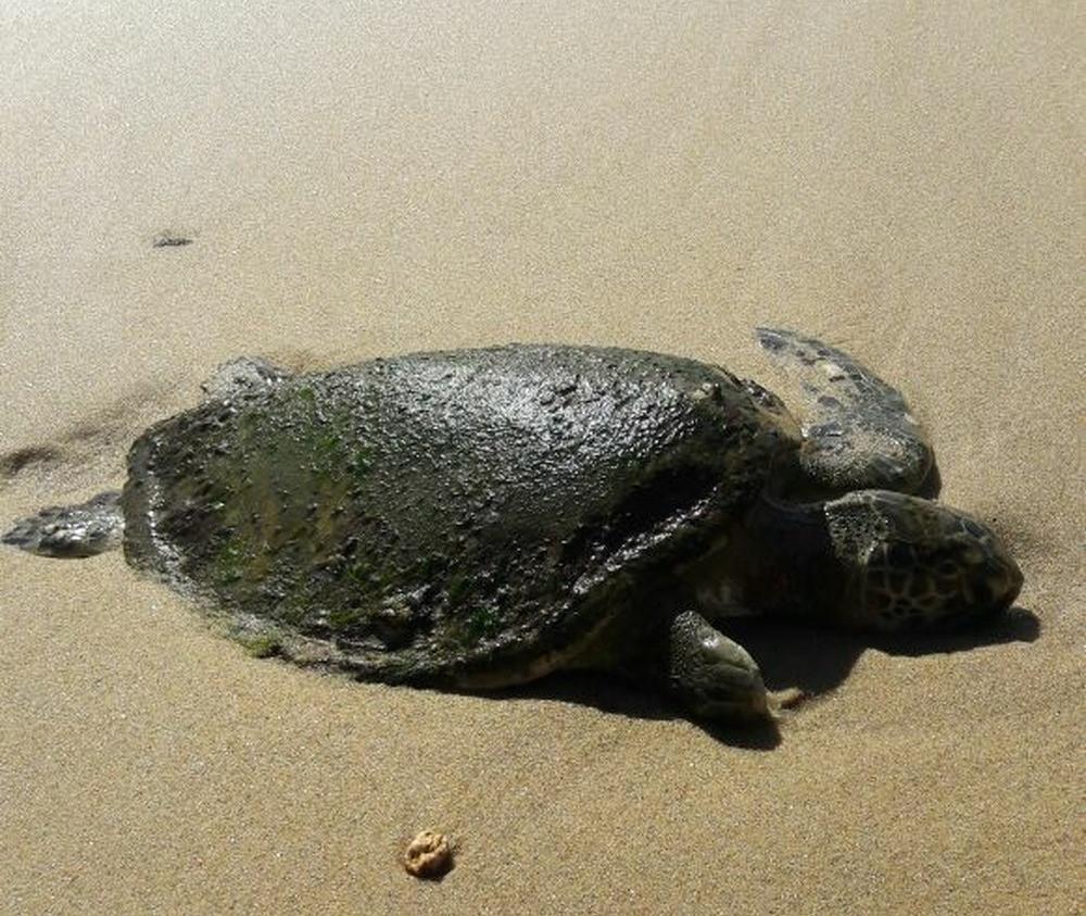 Tartaruga encontrada morta em Ubatuba (Foto: Fabrício Tcheller / Arquivo pessoal)