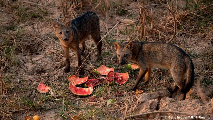 Cachorros-do-mato se alimentam de frutas distribuídas por voluntários