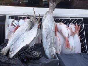 Fundo Social de São Sebastião doa 95 kg de peixes apreendidos pelo ICMBio Alcatrazes