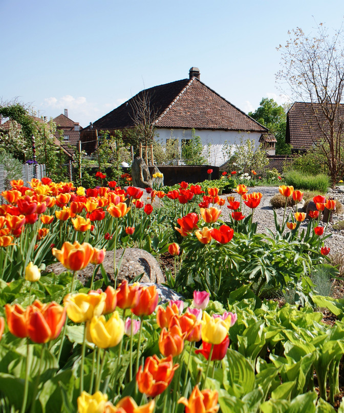 Frühlingsbote: die Tulpe
