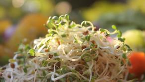 Les graines germées : pleine santé et régénération !