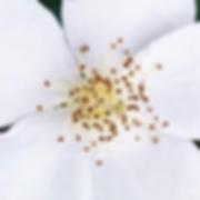 manon touati bonheur en fleur Iris Haesendonck stress aromathérapie huiles essentielles anti stress guérison régénération maladies auto immunes maladie de crohn rch sep sclérose en plaque autisme psychomotricité psychomotricienne naturopathie naturopathe coaching holistique thérapeute holistique régénération thierry casasnovas alimentation saine guérir méditation schéma olfaction rétro olfaction mécanisme odorat fleur
