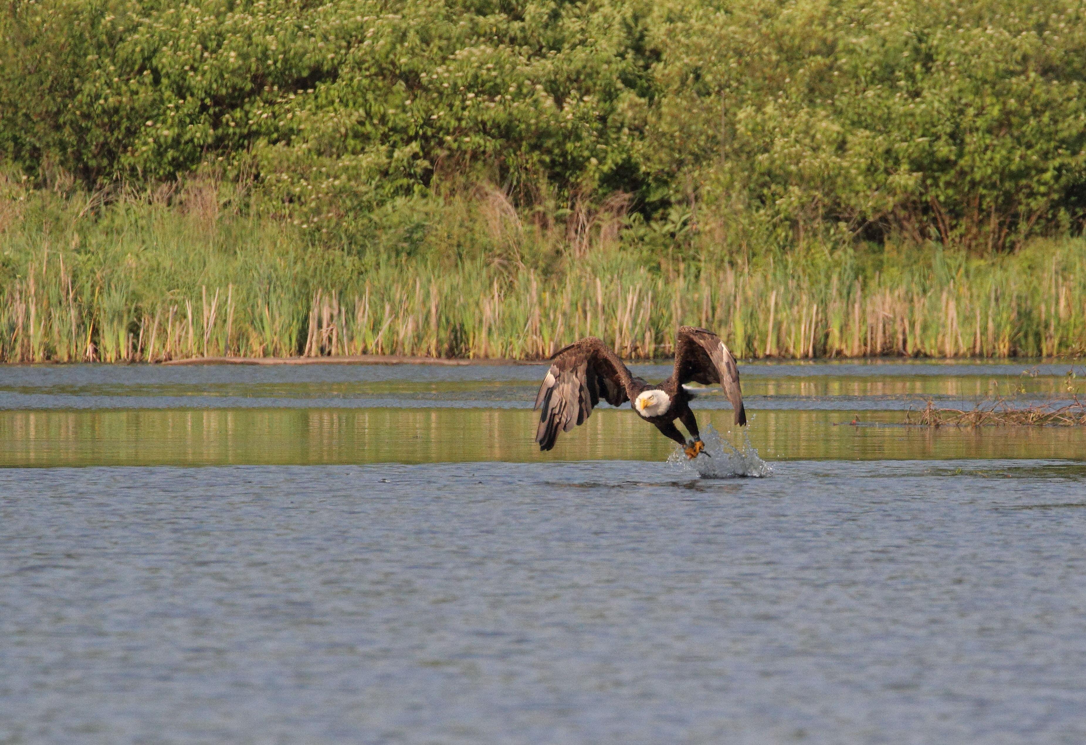 Bald eagle fishing for dinner