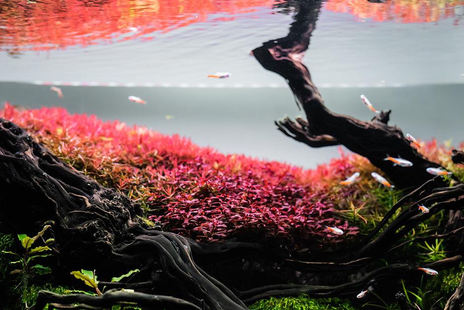 CO2ONE red aquarium plants
