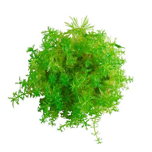 Myriophyllum propinquum (Water Milfoil)