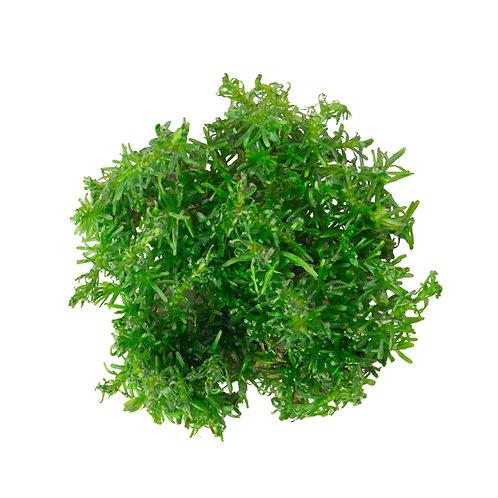 Rotala wallichii (Pine Tree Rotala, Red Rotala)