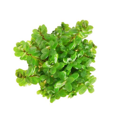 Rotala robustus 'Mini' (Rotala indica, Ammania bonsai)