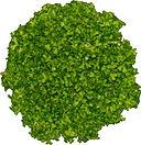 Riccia Fluitans Tissue Culture 1 ABC Plants.jpg