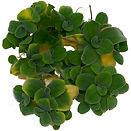 Pistia stratiotes Water Lettuce ABC Plants