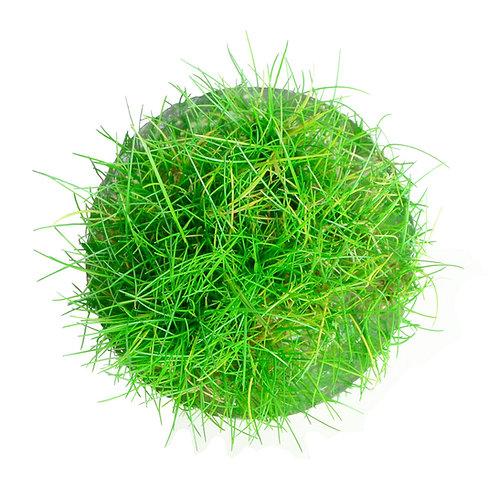 Eleocharis acicularis 'mini' (Dwarf Hairgrass)