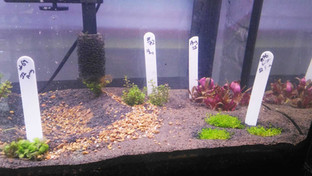 How well will our plants fare once introduced into aquariums?