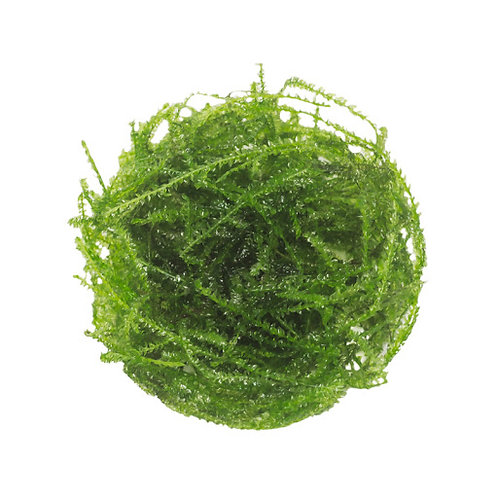 Java Moss (ABC Plants cultivar)