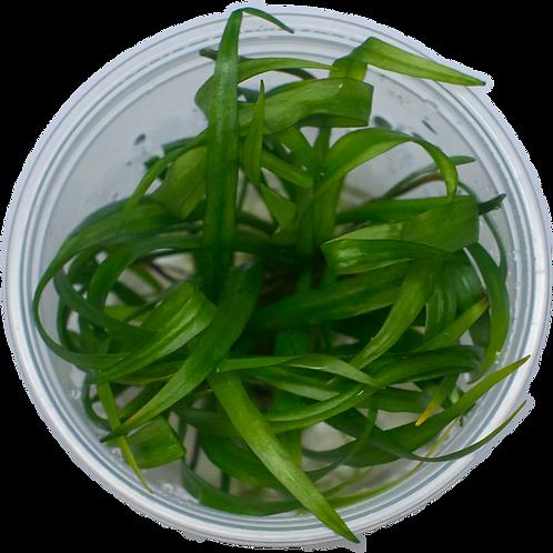 Helanthium 'Quadricostatus' (Dwarf Sword Plant)