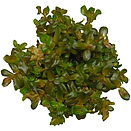Rotala macrandra in vitro tissue culture ABC Plants