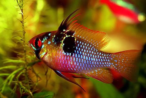 RAM fish.jpg