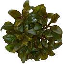 Alternanthera rosaefolia ABC Plants.jpg