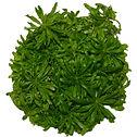 Pogostemon helferi Tissue Culture ABC Plants.jpg