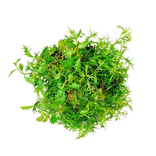 Proserpinaca palustris (Mermaid Weed)