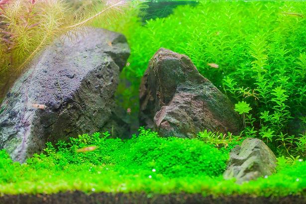 Planted aquarium carpet with rocks.jpg