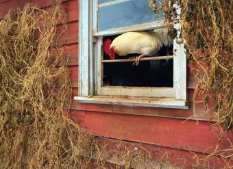 Chicken Myth Busting!