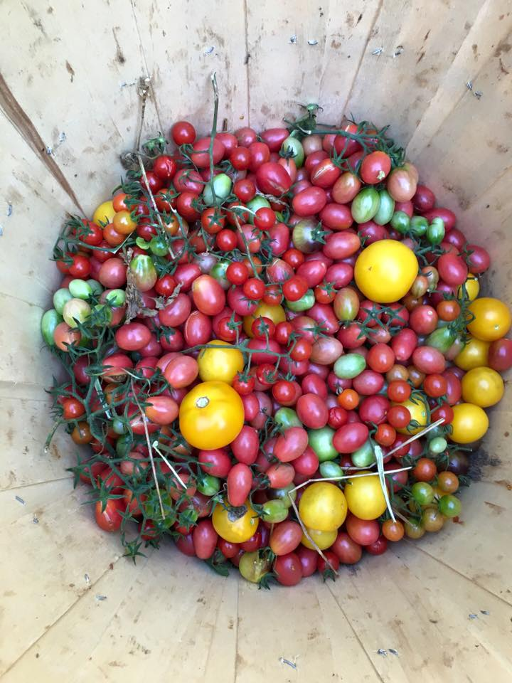 A rainbow of cherry tomatoes!