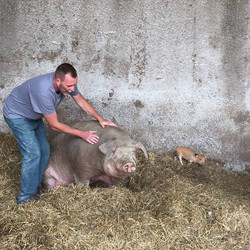 Murray with one of his sows