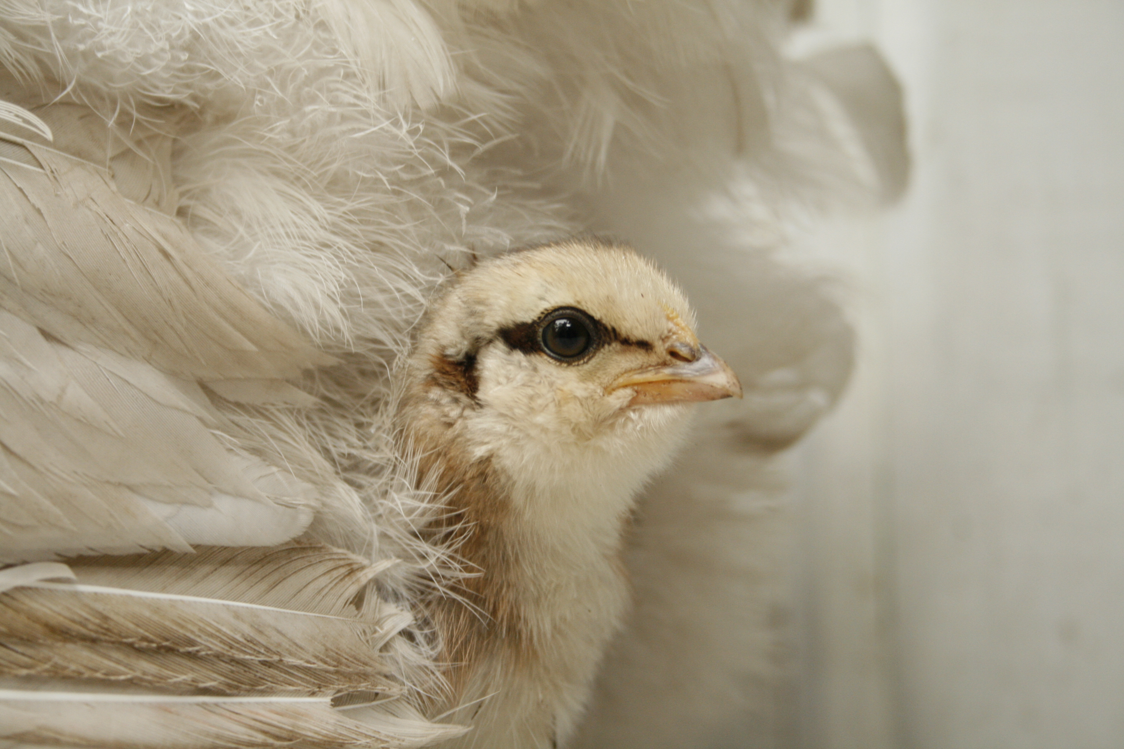 Show Hen Blanche's chick
