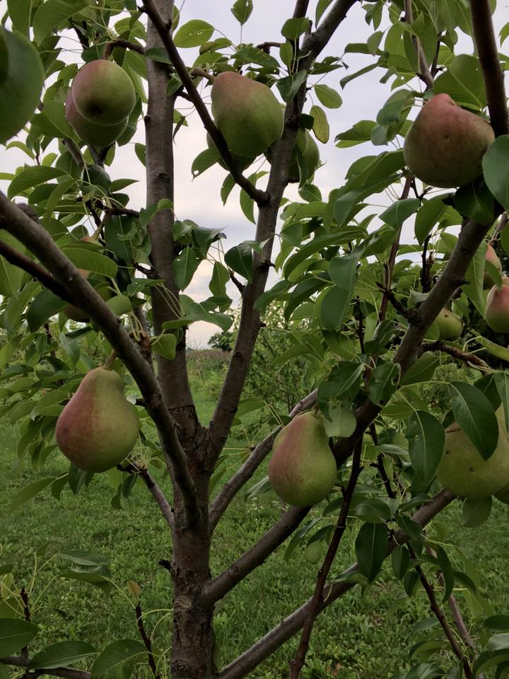 Pears in the young orchard