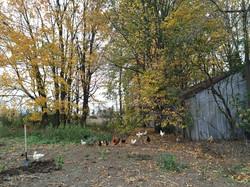 Pastured hens...