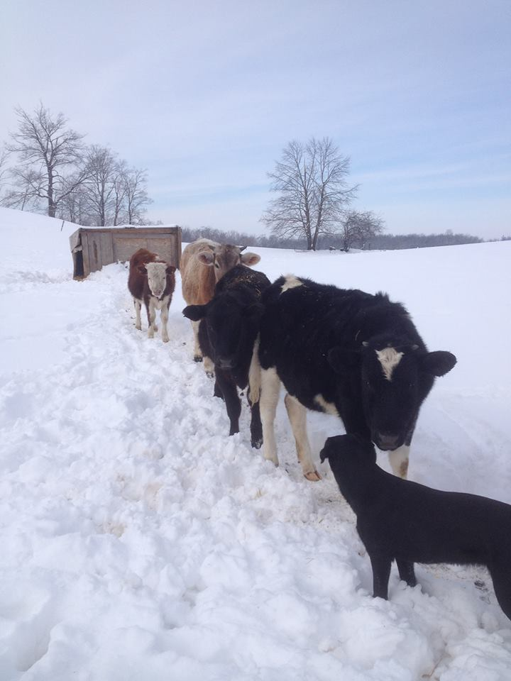 Winter march of the cows