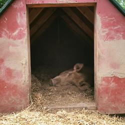 Sleepy sow...