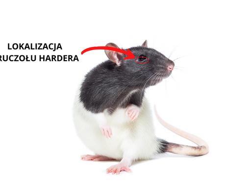 Patologie gruczołu Hardera u szczurów.