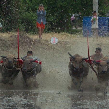 จังหวัดชลบุรี แข่งขันวิ่งควายคราดนา ตำบลนาป่า