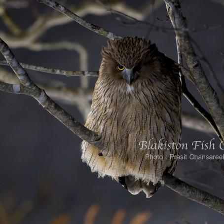 ถ่ายภาพ นกเค้าแมวแห่งฮอกไกโด Blakiston Fish Owl