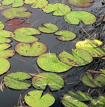 Green lily pad leaves and pine needles floating on still water where you can also see the reflectin of tree twigs and branches above.
