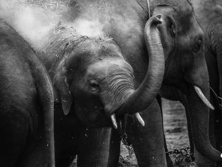 An Elefant's Shtam