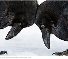 A close up of two common ravens with bowed heads touching. Photo credit: Colleen Gara