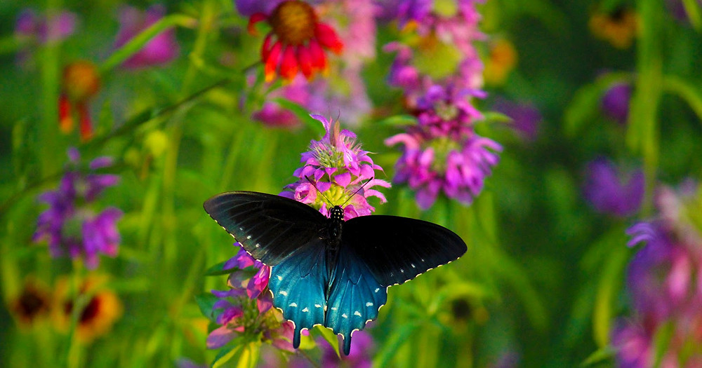 Close up of a black and blue colored butterfly on a pink flower.