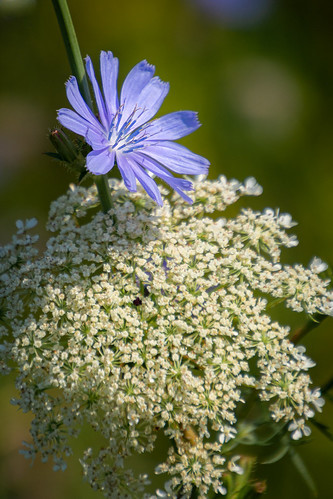 Queen Anne's lace & wild blue chicory