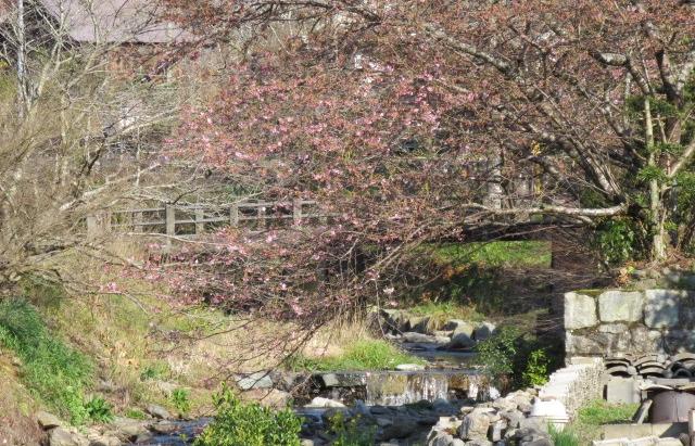 秋月桜巡り 「寅さん恋心桜」河津桜